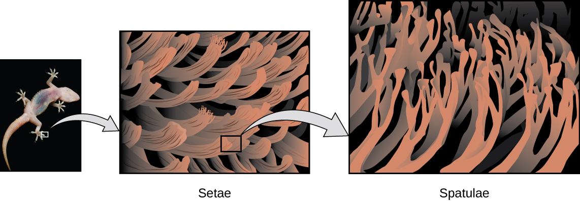 Three figures are shown. The first is a photo of the bottom of a gecko's foot. The second is bigger version which shows the setae. The third is a bigger version of the setae and shows the spatulae.