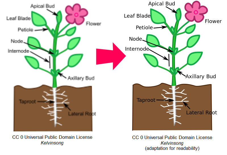 "Two images of a flowering plant with pieces labeled: the first is fuzzy and out of focused, with the words ""CC 0 Universal Public Domain License, Kelvinsong"" beneath it. The second is a copy of the first with cleaner lines and clearer labels and the words ""CC 0 Universal Public Domain License, Kelvinsong (adapted for readability) beneath."
